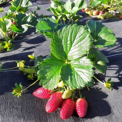 That Big, Red, Ripe Strawberry has arrived….